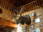 Moose head in the cabin where we stayed at the Badlands