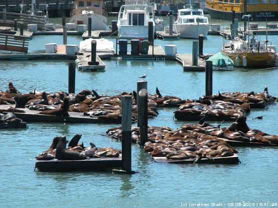 Seals basking by the piers in San Francisco