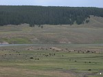 Buffalo grazing at Yellowstone