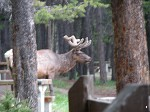 An elk in our campsite in Banff