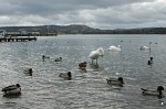 Flotilla of swans and ducks on Windermere at Waterhead