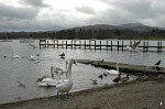 More swans and ducks on Windermere