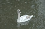 Swan on the River Stour