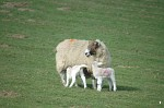 Sheep and lambs at Eastwell Park
