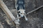 Dog with big stick