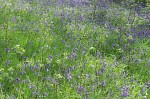 Bluebells in woodland at the University of Kent in Canterbury