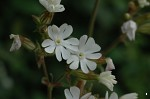 White Campion - <i>Silene alba</i>