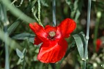 Common Poppy - <i>Papaver rhoeas</i>