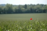 Lone poppy in a field