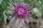Greater Knapweed - <i>Centaurea scabiosa</i>