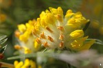 Kidney Vetch - <i>Anthyllis vulneraria</i>