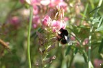 Sainfoin - <i>Onobrychis viciifolia</i> - with bee