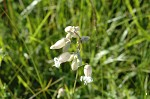 Bladder Campion - <i>Silene vulgaris</i>