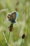Adonis Blue butterfly - <i>Polyommatus bellargus</i>