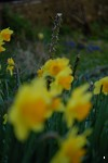 Daffodils in Bradford-on-Avon