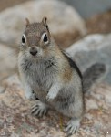 Chipmunk, Grand Teton National Park