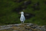 Seagull at Tintagel Castle, Cornwall